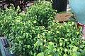 Ficus benjamina 15zz.jpg