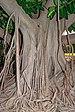 Ficus elastica - La Palma 03.jpg