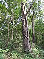 Ficus parasitica-2-kallar-meenmudii-kerala-India.jpg