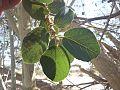 Ficus sycomorus subsp gnaphalocarpa03.jpg