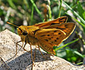 Fiery Skipper (Hylephila phyleus) (7993683744).jpg