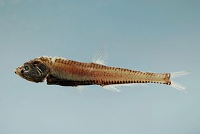 Fish4392 - Flickr - NOAA Photo Library.jpg