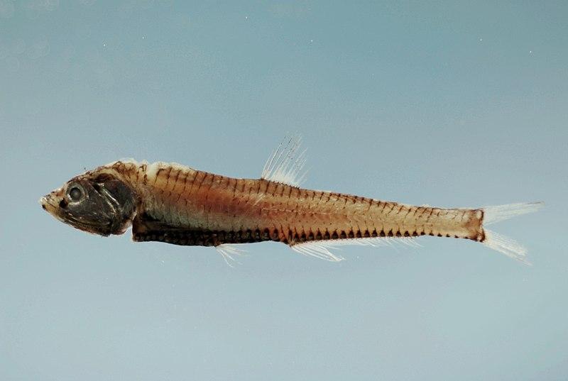 Fish4392 - Flickr - NOAA Photo Library.jpg