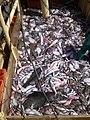 Fish aboard trawler African Queen.jpg