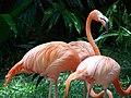 Flamingos rosa.JPG