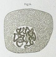 Desenho de um núcleo celular, por Walther Flemming, feito em 1882.