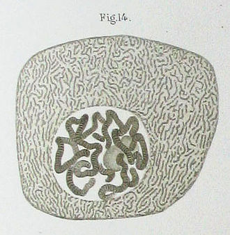 Walther Flemming - Polytene chromosomes in a Chironimus salivary gland cell, one of over 100 drawings from Flemming's book Zellsubstanz, Kern und Zelltheilung, 1885