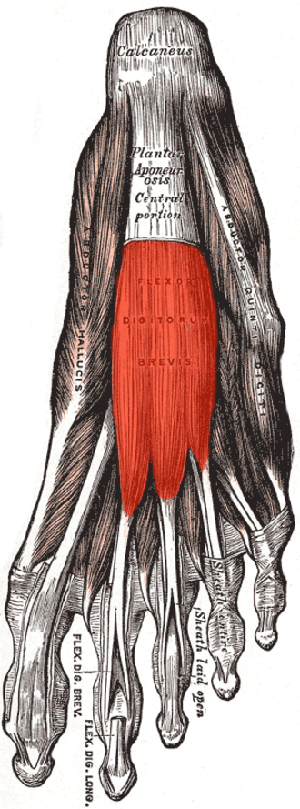 Flexor digitorum brevis muscle - Muscles of the sole of the foot. First layer. (Flexor digitorum brevis visible at center.)