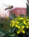 Flickr - DVIDSHUB - Q-West in bloom.jpg