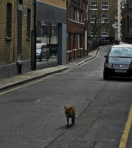 A fox on Ayres Street, Southwark, South London Flickr - Duncan~ - Fox Trot.jpg