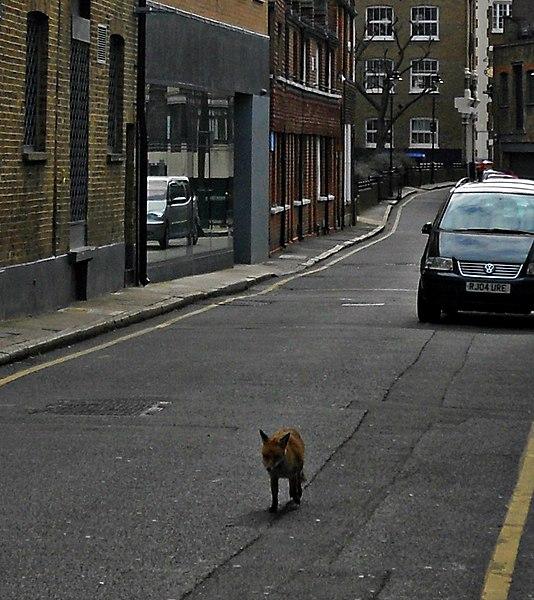 Una volpe per le vie di Londra