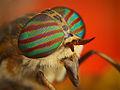 Flickr - Lukjonis - Horse-fly - Hybomitra sp. (Portrait).jpg