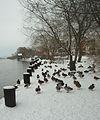 Flickr - Per Ola Wiberg ~ mostly away - Mallards.jpg
