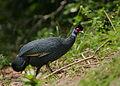 Flickr - Rainbirder - Crested Guineafowl (Guttera pucherani pucherani).jpg
