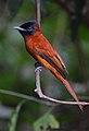 Flickr - Rainbirder - Red-bellied Paradise Flycatcher (Terpsiphone rufiventer) female.jpg