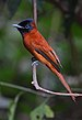 75px flickr   rainbirder   red bellied paradise flycatcher (terpsiphone rufiventer) female