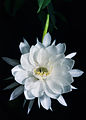 Flor Dama de la noche.jpg