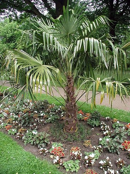chinesische hanfpalme trachycarpus fortunei exotische pflanzen und samen. Black Bedroom Furniture Sets. Home Design Ideas