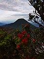 Flora cantigi gunung gede pangrango.jpg