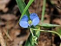 Flora from Savandurga IMG 9604.jpg