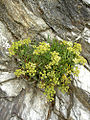 Flora of Lundy (6).jpg