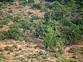Flora of Tanzania 4533 Nevit.jpg