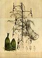Flore des serres et des jardins de l'Europe - vol. 01 - page 207.jpg
