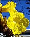 Flowers, Parkwood and Olive, Redlands 1-24-13d (8595962948).jpg