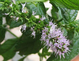 Spearmint - Image: Flowers of the spearmint