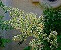 Flowery bush.jpg