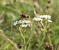 Fly on flower in Djurgarden (52364).jpg