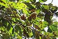 Folhas de árvores do Parque Estadual Altamiro Pacheco.JPG