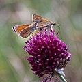 Forêt de Fontainebleau-RGFHS-Unidentified Thymelicus b-20170702.jpg