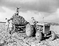 664bfe5c99 A Fordson harvesting beets during the early 1940s