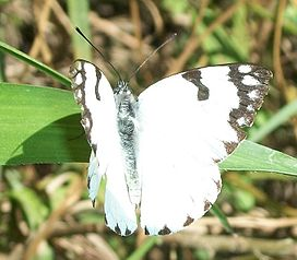 Forest White male 20 03 2011 2.JPG