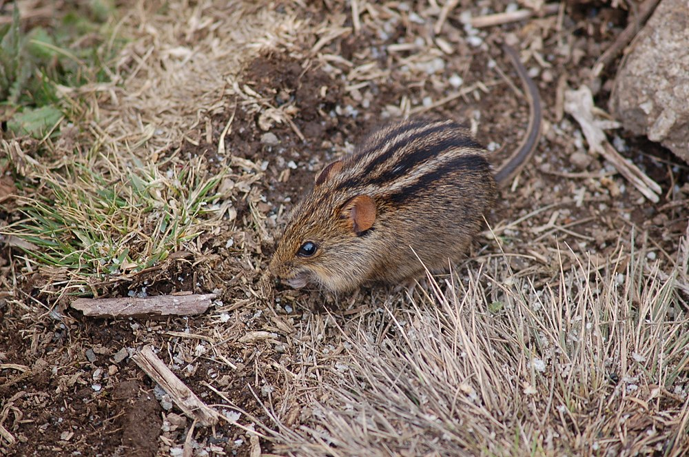 The average litter size of a Four-striped grass mouse is 5