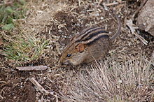 Four-striped Grass Mouse.JPG