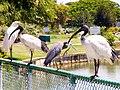 Four Birds on the Fence-01+ (380198834).jpg