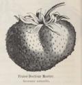 Fraise Docteur Morère Vilmorin-Andrieux 1883.png