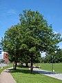 Fraxinus excelsior11.JPEG