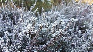 Frozen Kråkbär in Östra Kullaberg.jpg