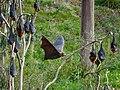 Fruit bat flying (35883279984).jpg