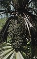 Fruits of cultivated fan palm, Nassau (38839830722).jpg