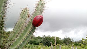 Cereus jamacaru - The fruit of Cereus jamacaru