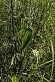 Funastrum flavum- Colinas de Solymar, Canelones, Sobre gramíneas en bañados al margen de la Ruta Interbalnearia 7.jpg