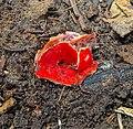 Fungus, tbd - Flickr - wackybadger (9).jpg
