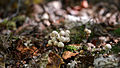 Fungus - Algonquin Provincial Park, Ontario 16.jpg