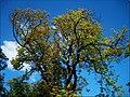 Gödöllői kastély fája.jpg