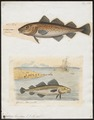 Gadus morrhua - 1700-1880 - Print - Iconographia Zoologica - Special Collections University of Amsterdam - UBA01 IZ14000089.tif