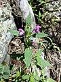 Galeopsis ladanum s. str. sl16.jpg